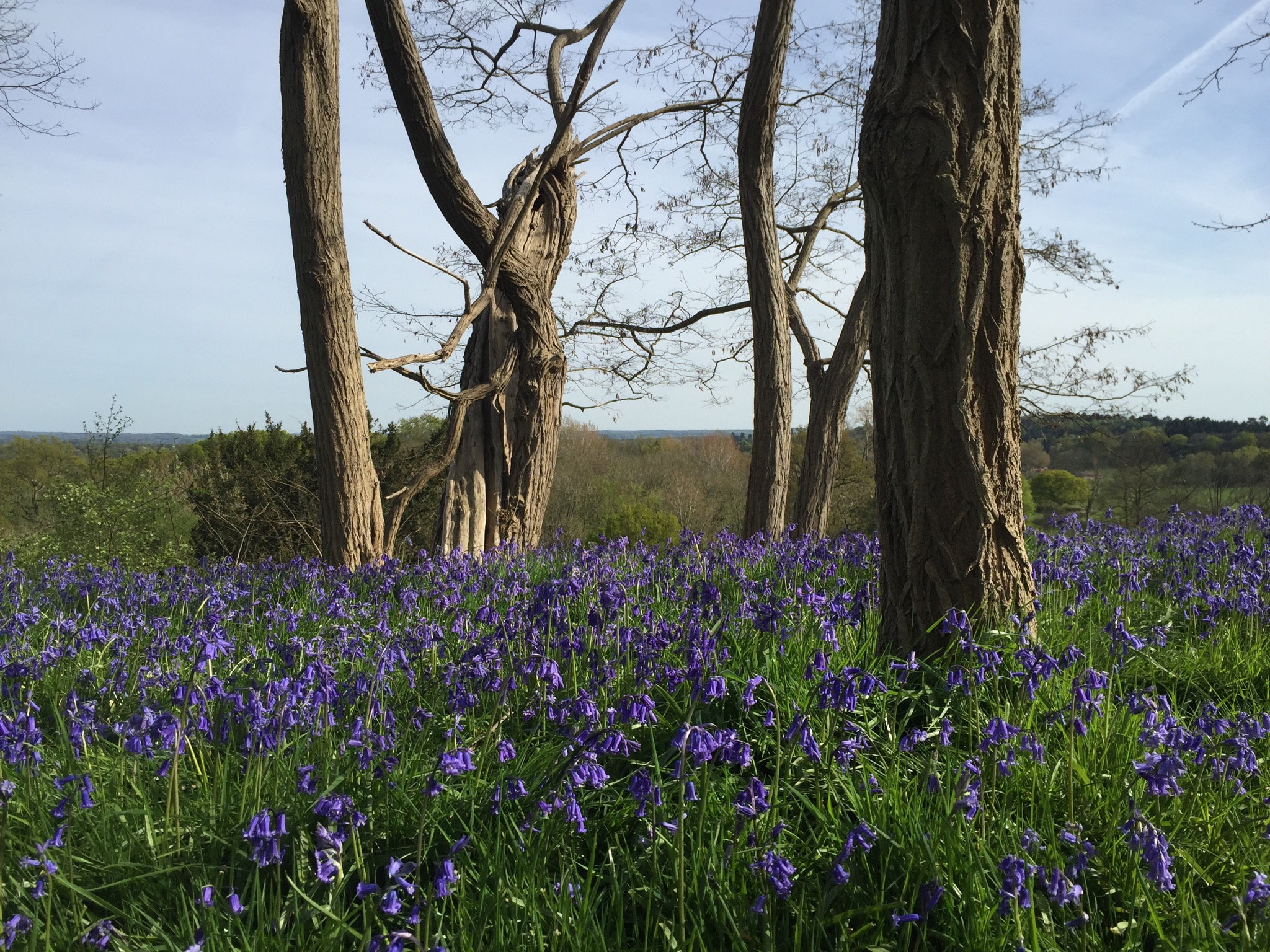 Painshill Bluebell View